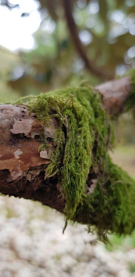 Mousse d'arbre photographie stock libre de droits