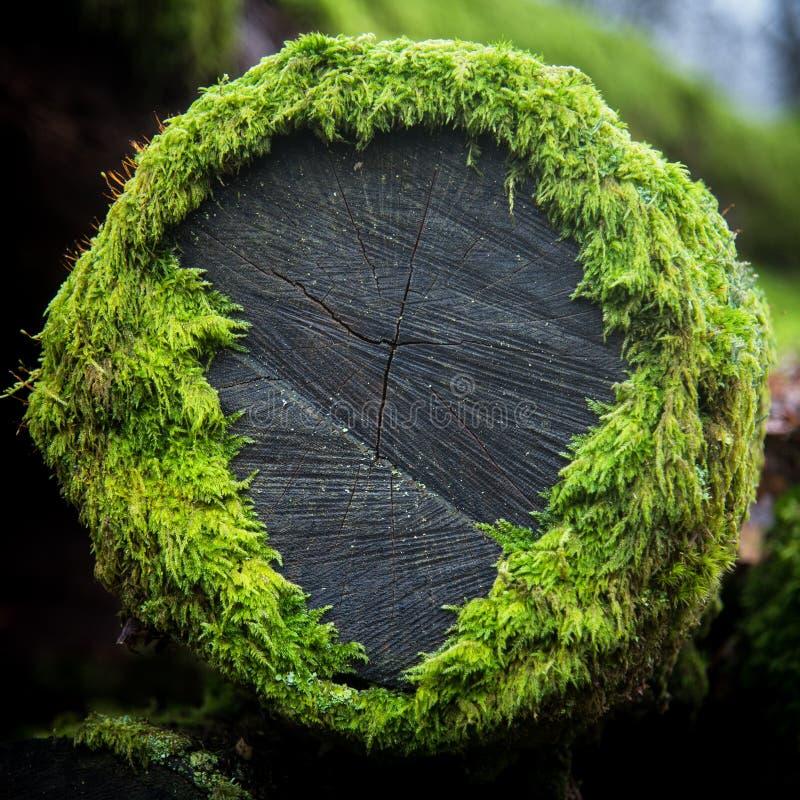 Mousse d'arbre image libre de droits