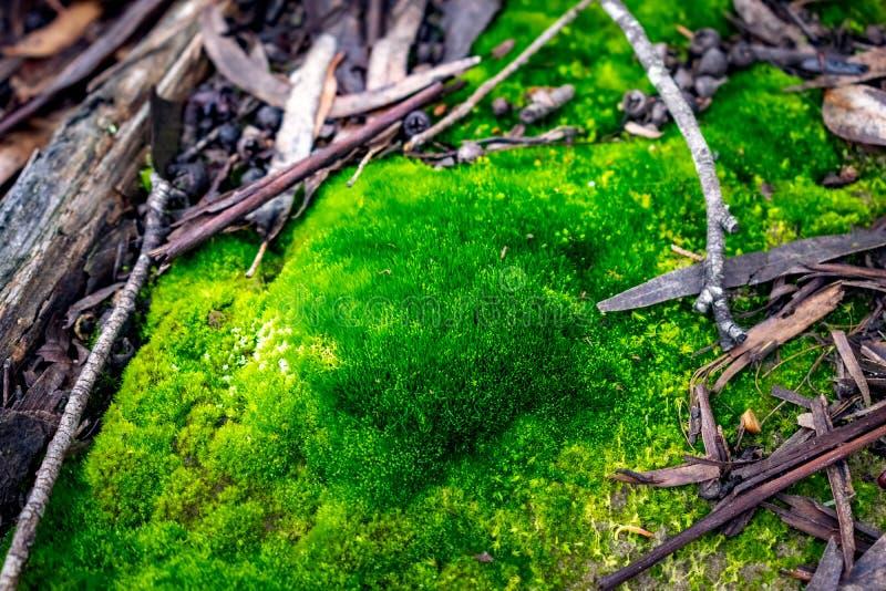 Mousse dans la forêt avec la lumière de l'aube photos stock