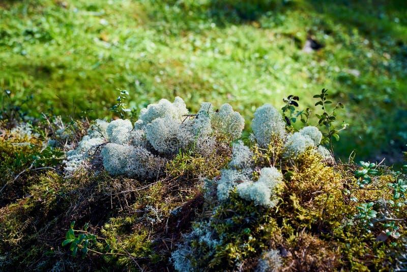 Mousse de cladonia de lichen, nature du nord grave images stock