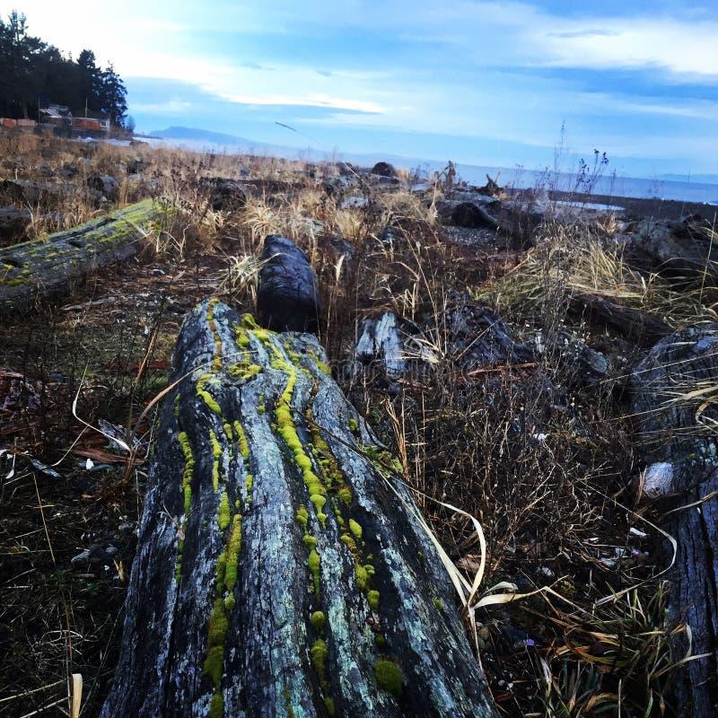 Mousse de plage de Qualicum sur le bois de flottage photos libres de droits