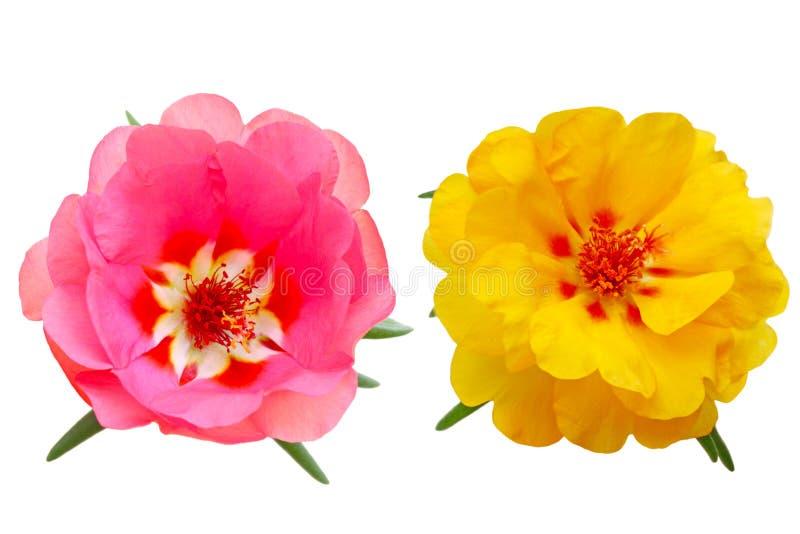 Mousse de Rose photo libre de droits