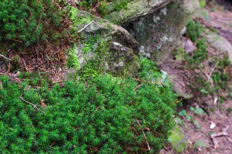 Download Mousse Dense Et Luxuriante De Forêt S'élevant Sur Un Arbre En été Photo stock - Image du jour, mousse: 77162612