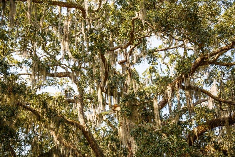 Mousse espagnole dans des arbres de chêne et de magnolia photographie stock