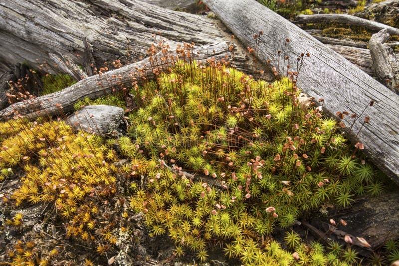 Mousse fertile de cheveu-chapeau avec des rondins de bois de flottage, lac flagstaff, Maine image stock