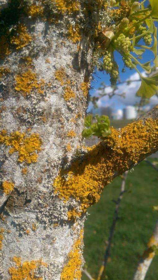 Mousse jaune sur l'écorce d'arbre blanche photo libre de droits