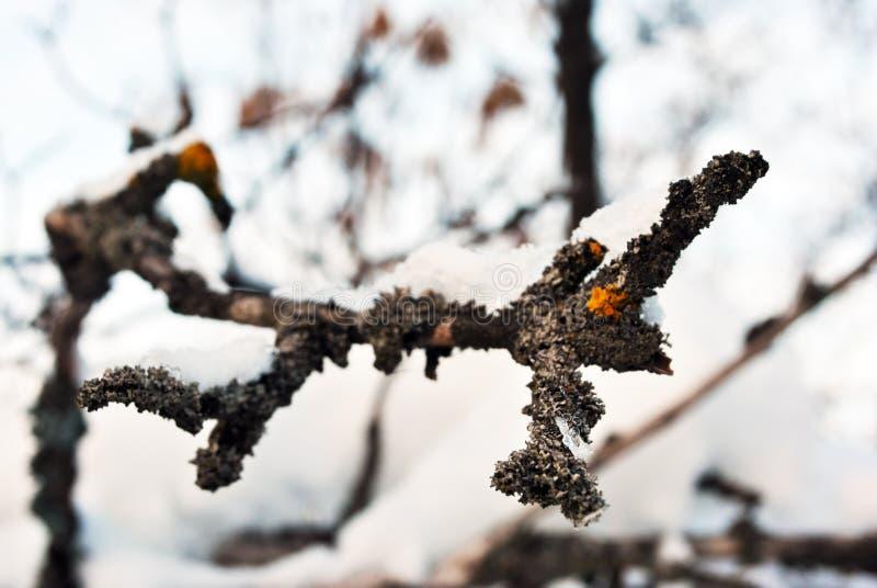 Mousse jaune sur la vieille fin de surface d'écorce de branche vers le haut du détail couvert de neige photos libres de droits
