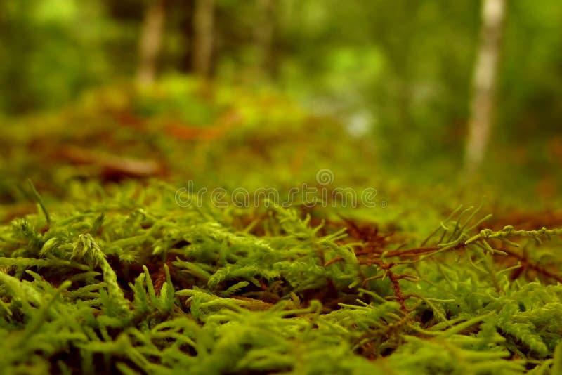 Mousse pelucheuse juteuse verte au sol dans la forêt photo stock