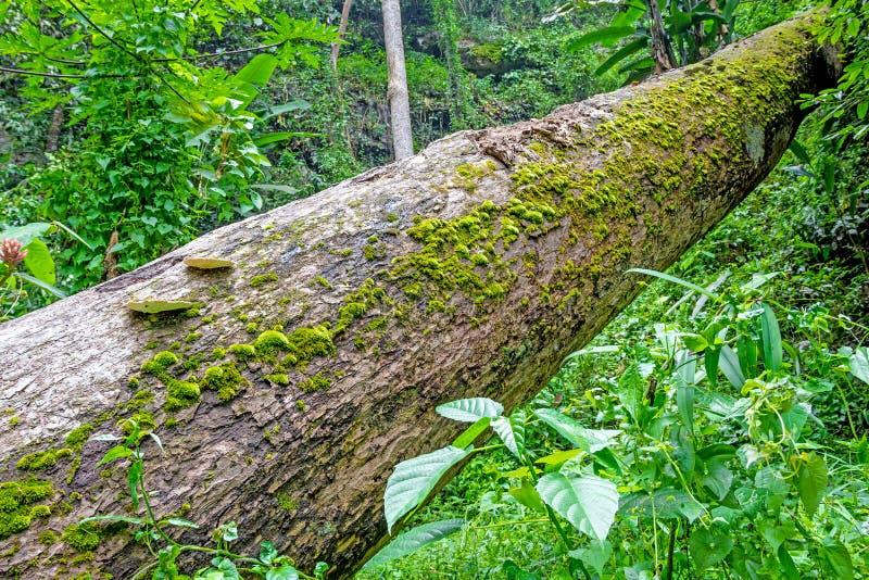 Mousse s'élevant sur l'arbre dans la forêt tropicale photographie stock libre de droits