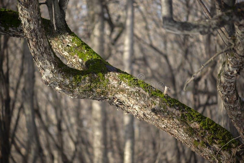 Mousse s'élevant sur un arbre image stock