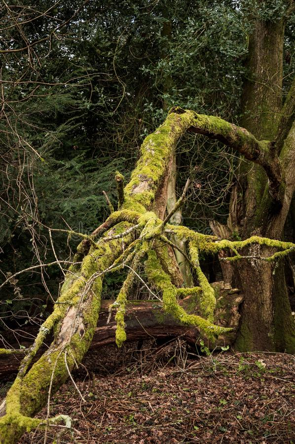 Mousse s'élevant sur un arbre tombé dans une forêt photographie stock