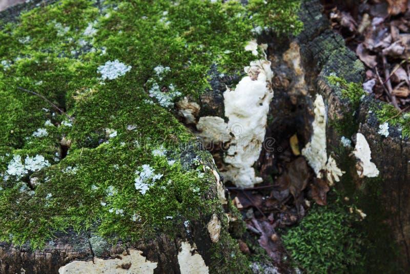 Mousse s'élevant sur un vieux tronçon d'arbre images stock