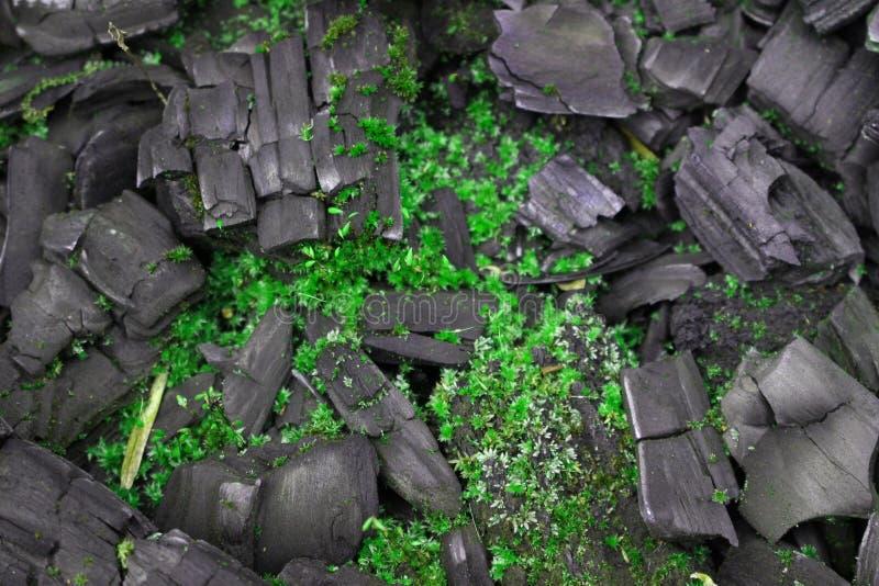 Mousse sur le charbon de bois image libre de droits