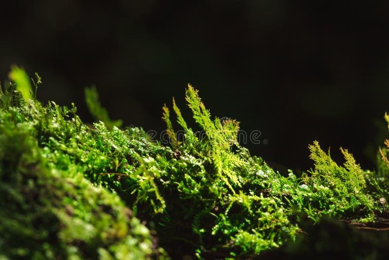 Mousse sur les branches qui se développe bien dans moite photo stock