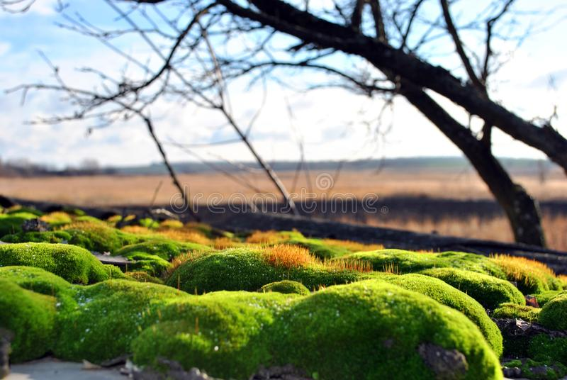 Mousse vert clair et jaune avec des accents rouges sur une surface en bois, herbe jaune et branches noires, ciel bleu nuageux image libre de droits
