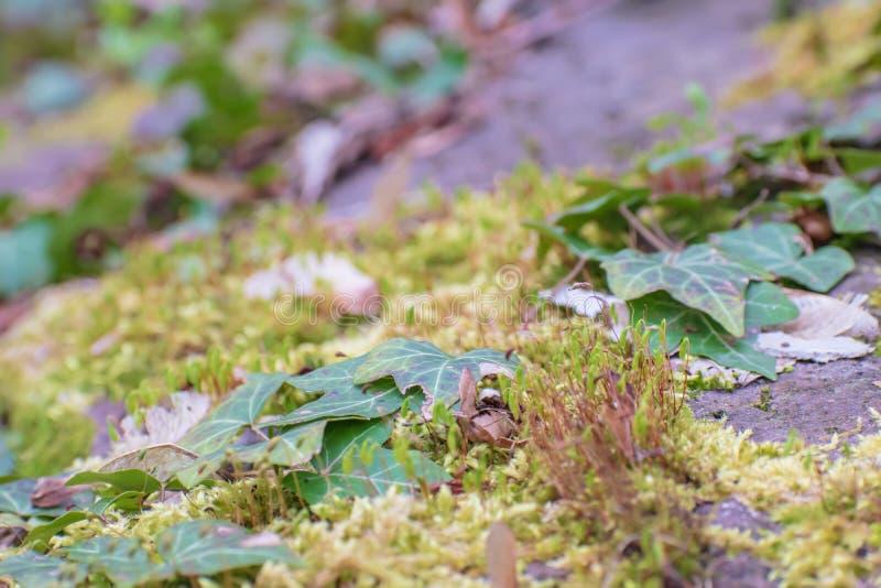 Mousse verte avec le lierre au printemps photo stock