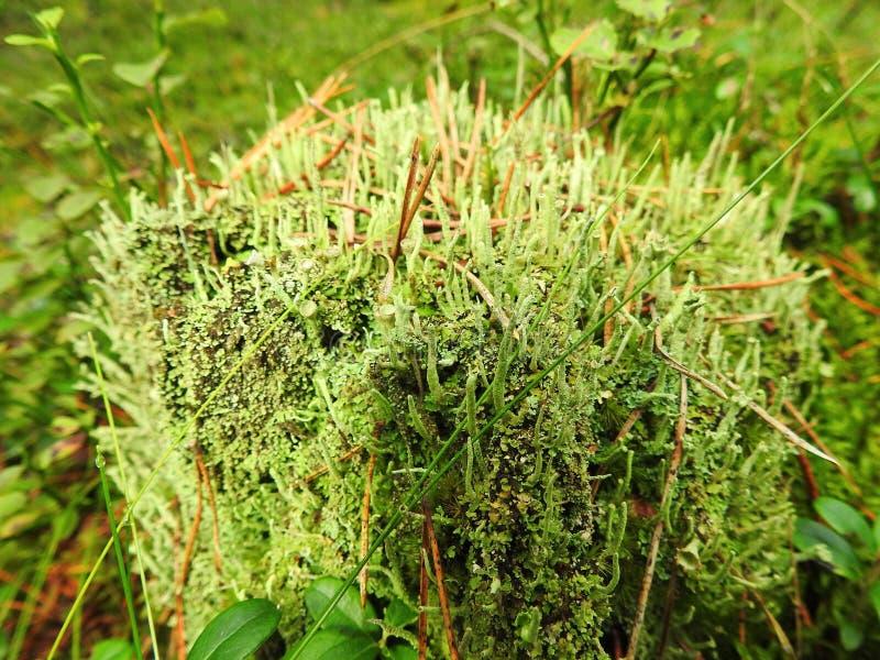 Mousse verte dans la forêt image stock
