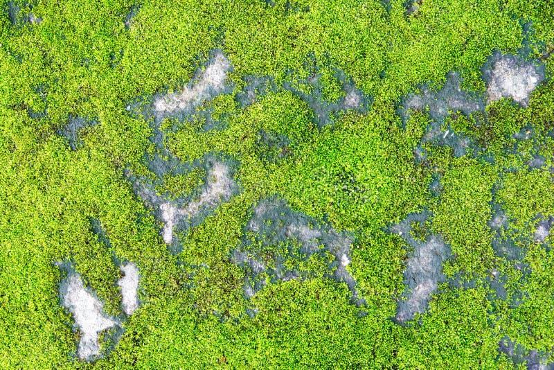 Mousse verte sur le fond concret de texture images libres de droits