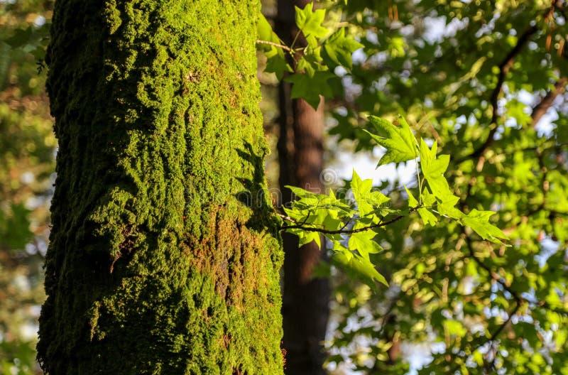 Mousse verte sur un arbre en parc d'été image stock