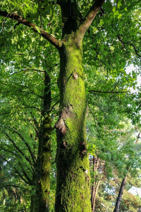 Mousse verte sur un arbre en parc d'été images stock