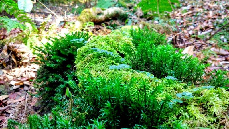 Mousses et lichens à la forêt sacrée images libres de droits