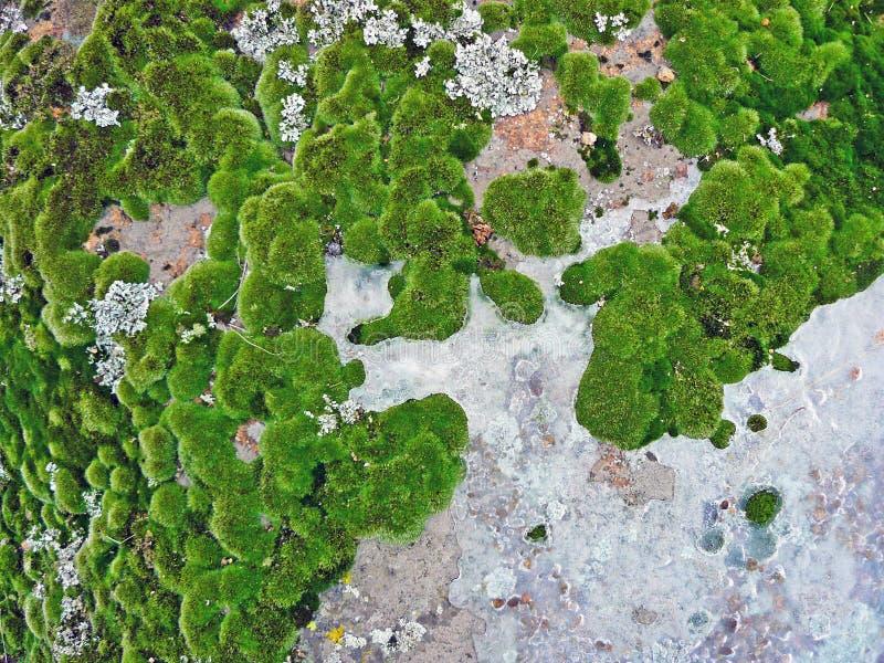 Mousses et lichens images libres de droits