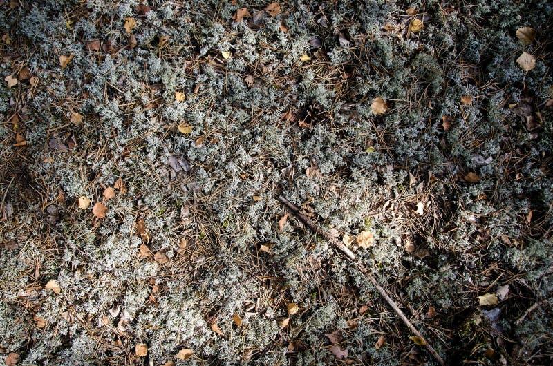 Mousses et lichens sur le plancher de forêt photo stock