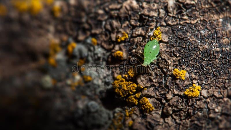 Moustached zielenieje korówki czołganie na mechatym nawierzchniowym makro- insekta zakończeniu fotografia stock