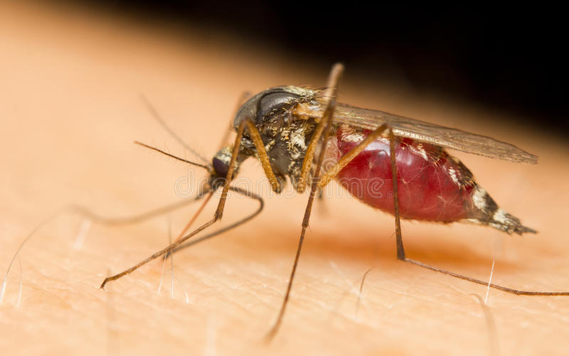 moustique images stock