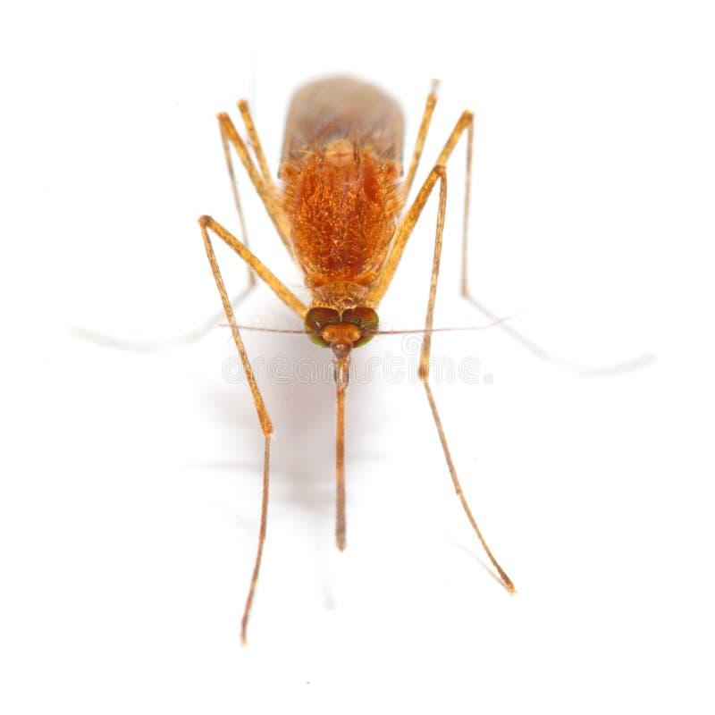 Moustique d'anophèles image stock