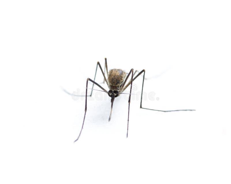 Moustique d'insecte photos libres de droits