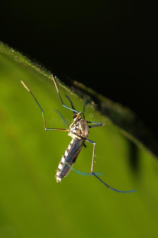 Moustique de malaria image stock