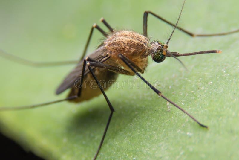 Moustique de moustiques photo libre de droits