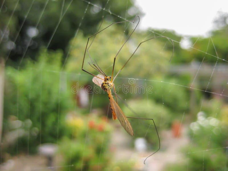 Moustique emprisonné en Web du ` s d'araignée photos stock