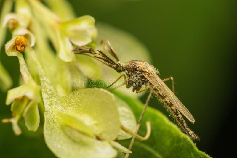 Moustique femelle photographie stock libre de droits