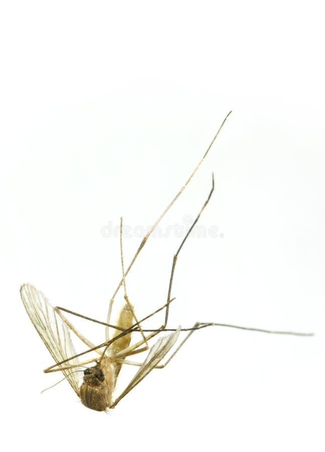 Moustique mort photo stock