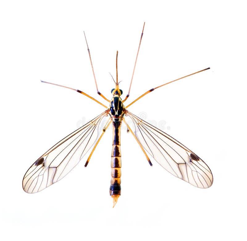 Moustique tropical images libres de droits