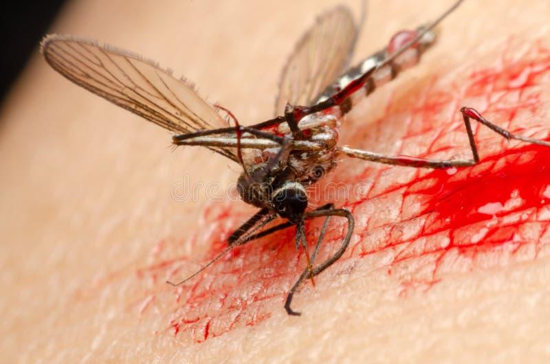 Moustique tué avec le sang sur la peau photos stock