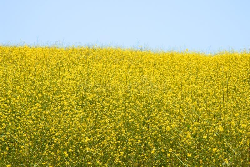 Moutarde sauvage - brassica Rapa images libres de droits