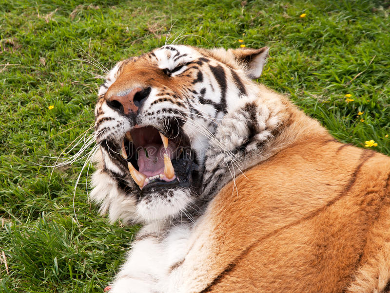 Download Mouth And Fangs Of A Bengal Tiger Stock Image - Image: 16543015
