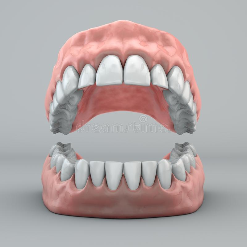 Mouth, teeth and gums stock illustration