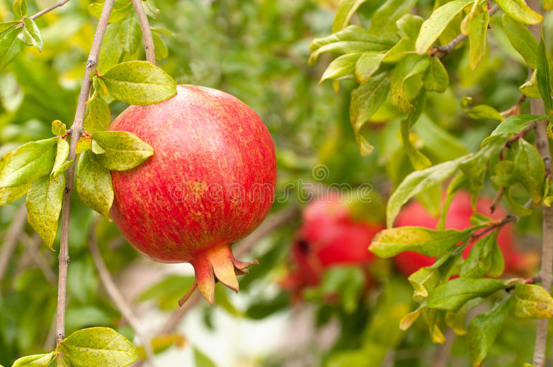 Download Mouthwatering Pomegranate Ripe On Tree Stock Image - Image: 20467177