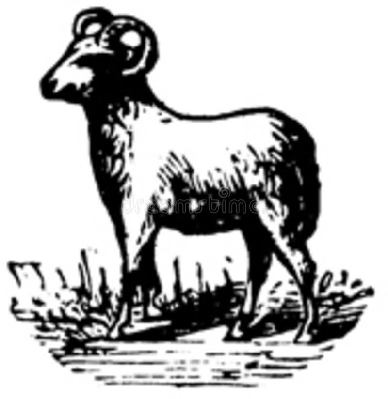 mouton-003 stock photos