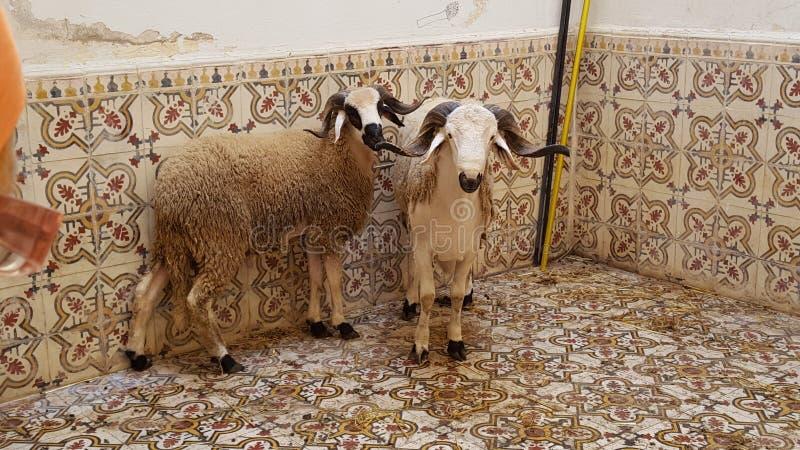 Mouton. Morooco mouton de 3id aladha q stock photo