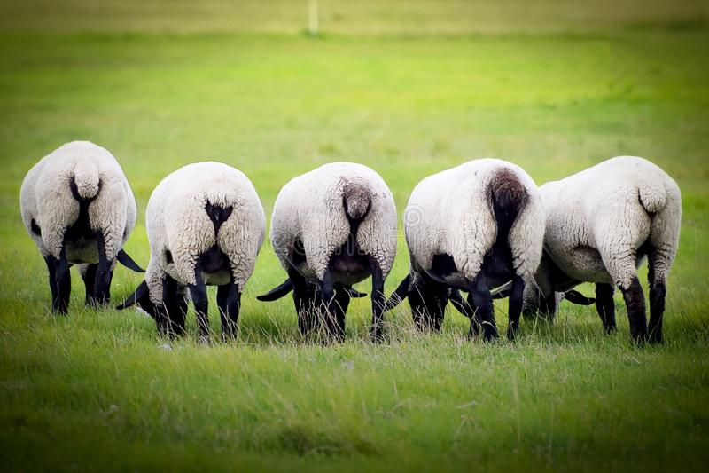 Mouton sur un pré Mouton à la ferme mangeant l'herbe photos libres de droits