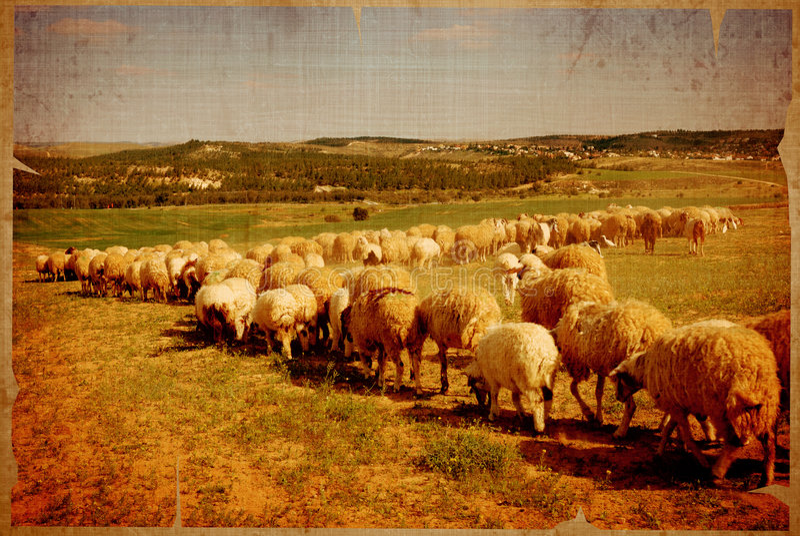 Moutons âgés images libres de droits