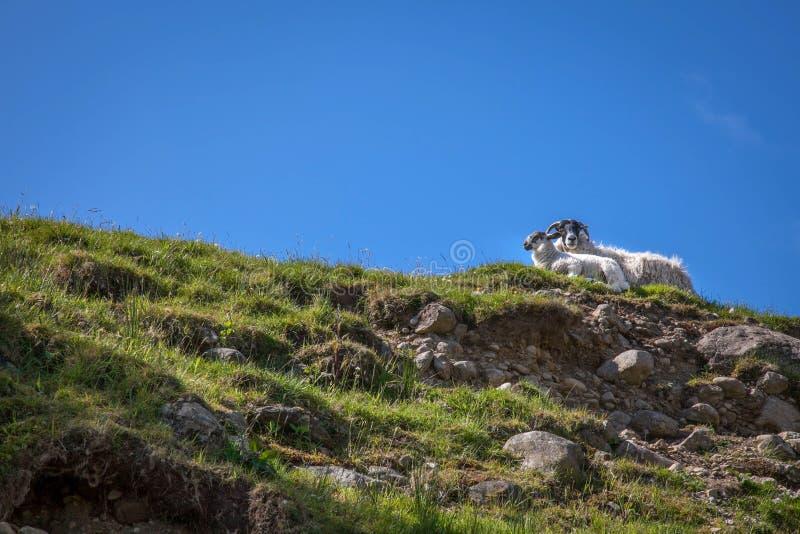 Moutons écossais au soleil images stock