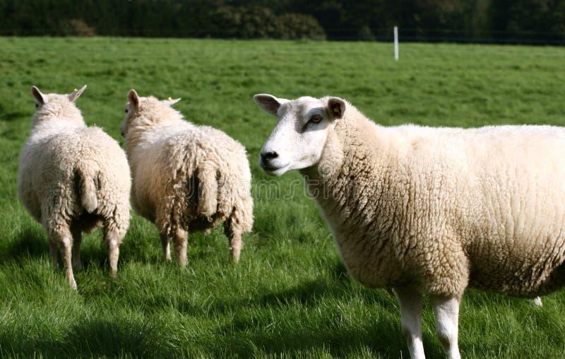 Moutons photos libres de droits