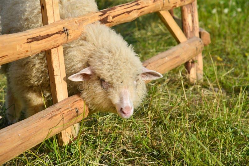 Download Moutons image stock. Image du cordon, ferme, animal, herbe - 76090057