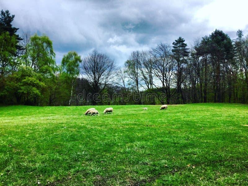 Moutons photo stock